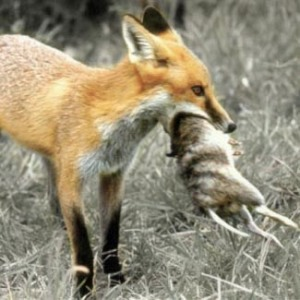 fox-with-prey-smaller2